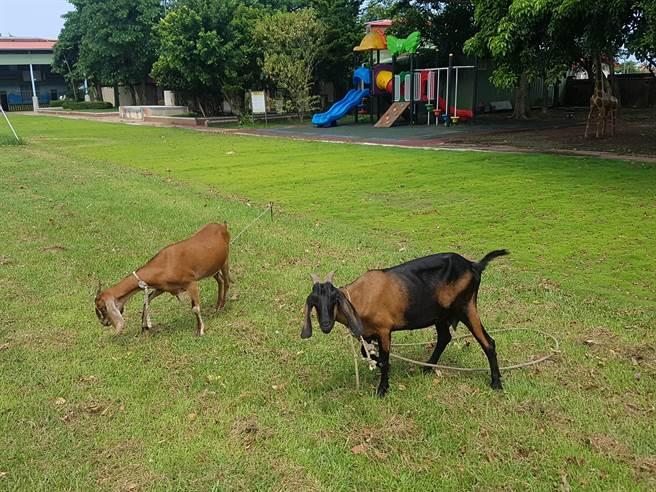 學校養的雞、鴨、羊也都能自由自在的在操場上活動。(香田國小提供/吳建輝彰化傳真)