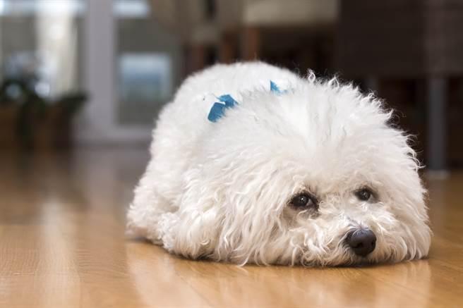 過世比熊犬進行寵物溝通時不斷飄出臭味,溝通師詢問後才得知,狗狗生前很在意飼主姊姊笑牠有口臭。(示意圖/達志影像)