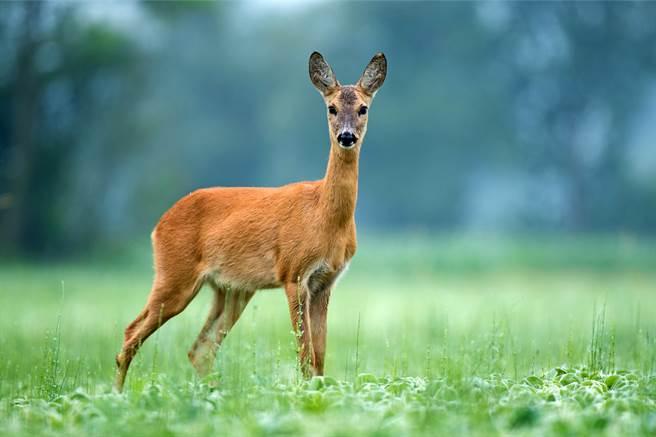 母鹿聽到嬰兒的哭聲,似乎是被激發母性本能,馬上跑出來查看,靈性反應讓千萬人驚呼。(示意圖/達志影像)