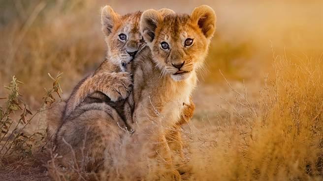 肯亞奈洛比國家公園日前傳出小公獅出逃的事件,嚇壞當地的民眾。圖片為示意圖(圖/shutterstock)