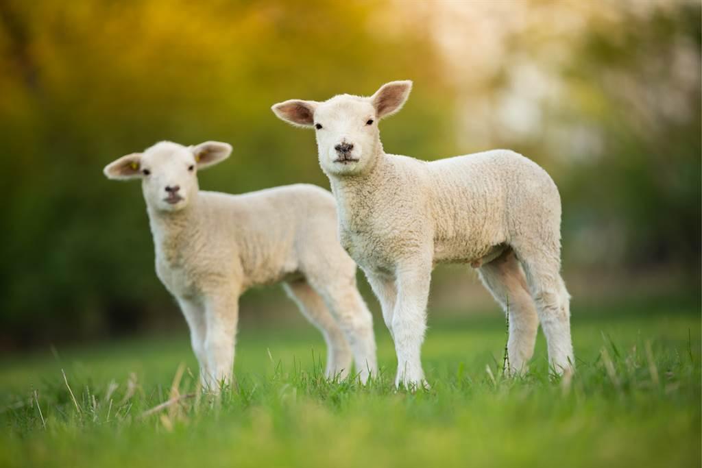 小羊看河似乎有些深,因此遲遲不敢通過,直到同伴牧羊犬為牠指路後,小羊才安心的渡河。(示意圖/達志影像)