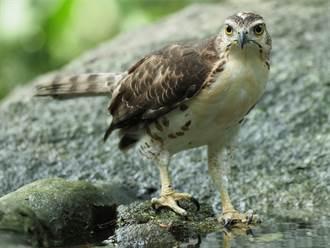 稀有老鷹覓食被偷拍 狂瞪鏡頭他緊張求助 吃相萌翻全場