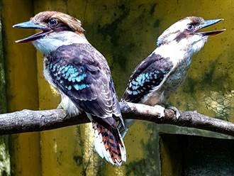笑翠鳥3兄妹「轉大人」!行為舉止仍屁孩 飛行時屢上演迫降情節