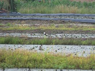 較去年多166隻  台南水雉夏季調查數量喜增至1307隻