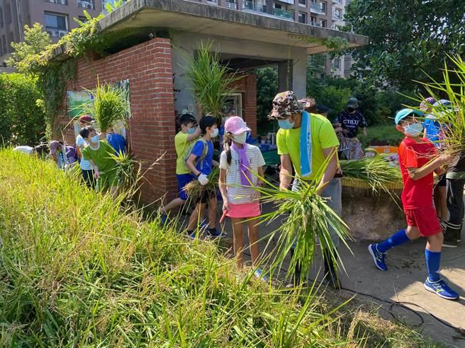淡水區新市國小校內有600平方公尺稻田,開放學生學習「食農課程」(農會提供/戴上容新北傳真)