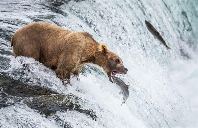 阿拉斯加鮭魚努力洄游產卵,聰明的棕熊直接守在瀑布口捕食。(示意圖/達志影像)