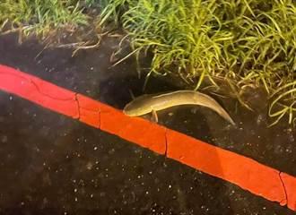馬路驚見魚類竟是恐怖生物 她好心救援挨轟:害死整池魚