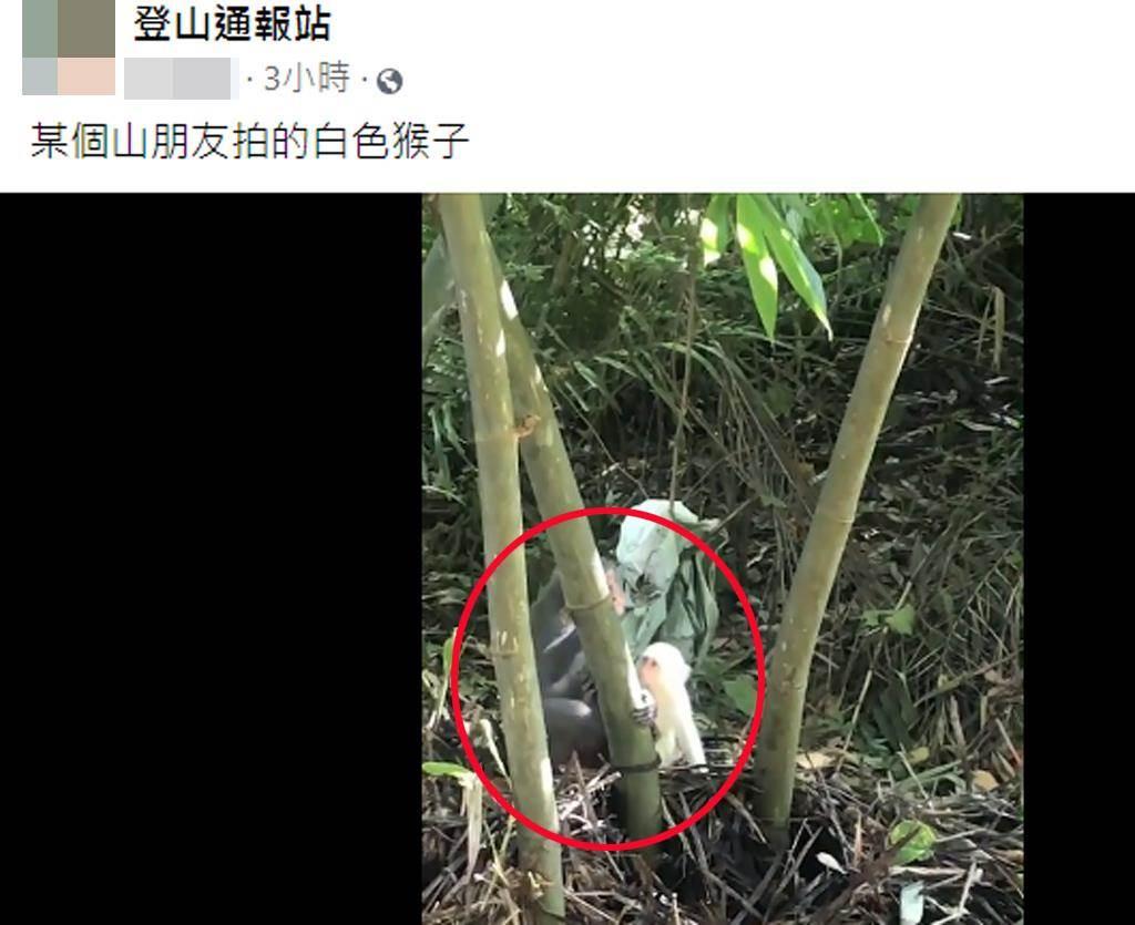 野生小白猴依偎在母猴身旁,模樣超萌。(截自社團《登山通報站》)