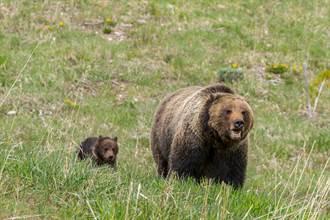 女遊客見灰熊一家太興奮 近距離拍照激怒母熊下場慘