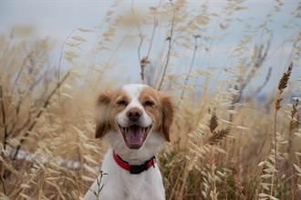 被卡車輾過慘截肢 小獵犬靠雙腿奔跑 燦爛笑容惹鼻酸
