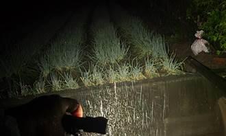 豪大雨來襲農民睡不安穩 暗夜衝田裡造水路排水