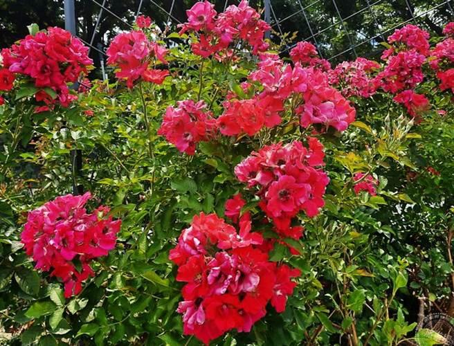 紅色蔓性玫瑰_琳達坎貝爾(圖片:臺北市政府工務局公園路燈工程管理處提供)