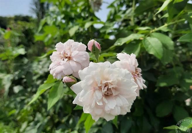 中國古老月季有非常密切血綠的老品種「努賽特」蔓性玫瑰 (圖片:臺北市政府工務局公園路燈工程管理處提供)