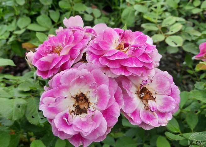 奧菲歐屬於複色的中輪杯型花朵,具大馬士革系的強香,同時有果香及辛香 (圖片:臺北市政府工務局公園路燈工程管理處提供)