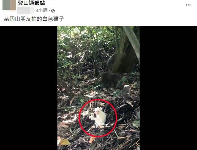 有民眾拍到野生小白猴身影。(截自臉書社團《登山通報站》影片)