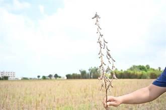 因應乾旱 北部首次春作大面積栽種大豆成果顯著