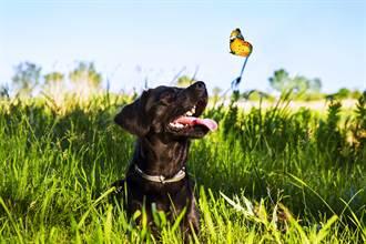 男童養大蝴蝶含淚放生 寵物犬猛撲溫馨畫面秒變調
