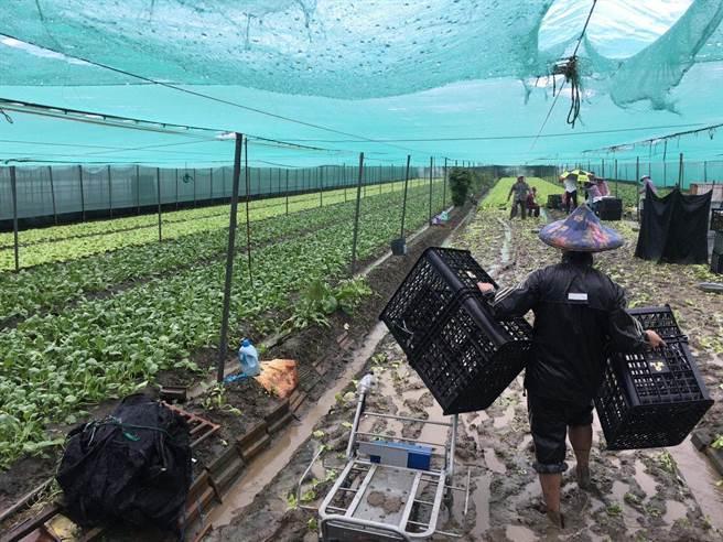 雲林農民搶收蔬菜。(周麗蘭攝)