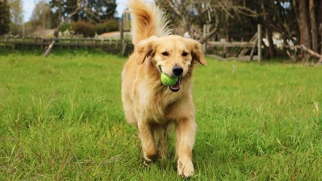 美國一隻黃金獵犬看到愛球滾在柵欄外便死守不走,但旁邊明明有門卻不過去撿讓主人笑歪。圖片為示意圖。(圖/shutterstock)