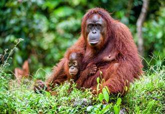 紅毛猩猩撿到墨鏡秒戴上 變身時尚酷媽4000萬網笑翻