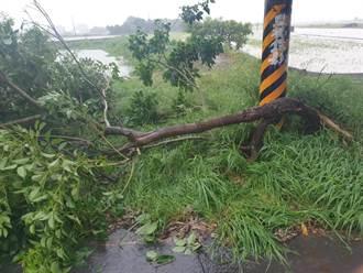 嘉義連日強風吹倒樹木 妙齡女遭倒塌路樹砸傷
