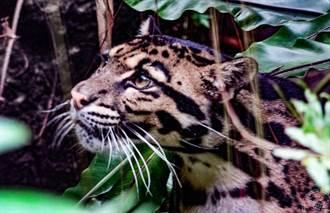 「國際雲豹日」 來看看台北動物園 「Suki」