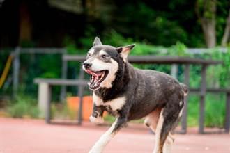 三腿流浪狗找新家 認養享寵物終身健檢、打疫苗