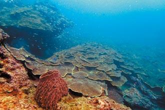 基隆疫外驚喜 潮境珊瑚修復加速度