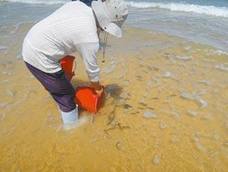 金門顧保育 放流3萬尾黑棘鯛