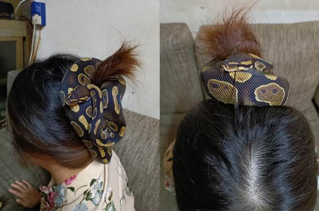 原PO一時找不到髮圈,竟直接將球蟒纏繞在髮絲間,輕鬆盤起大把長髮。(圖/翻攝自臉書社團《爆廢公社二館》)