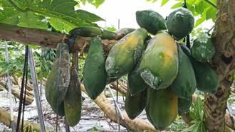 不敵連日大雨襲擊 台南山上區100公頃木瓜全「泡湯」