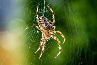 蜘蛛不只吃昆蟲 捕食比自己大30倍毒蛇 科學家也看傻