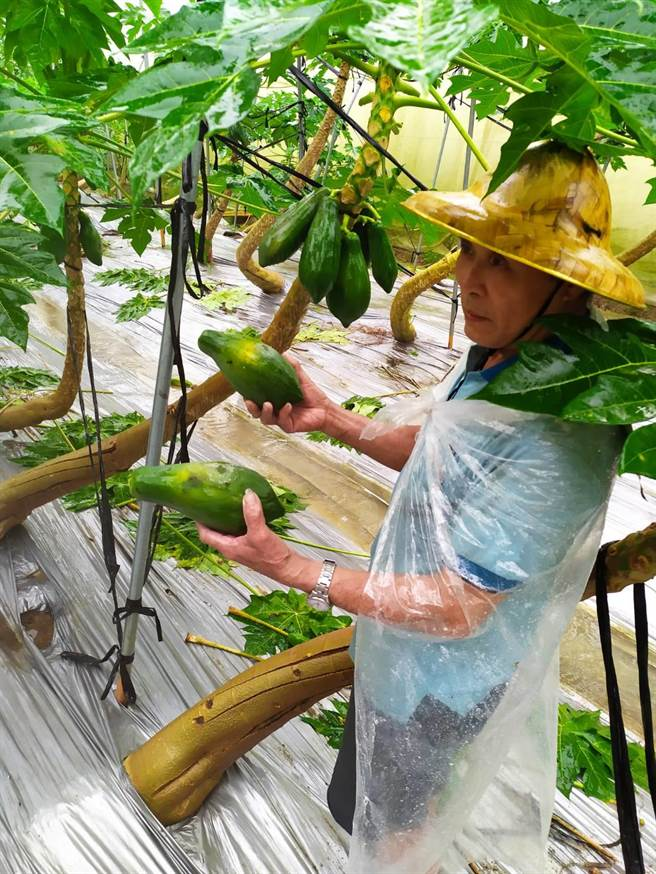 台南大內區木瓜水傷落果掉滿地。(陳義男提供/劉秀芬台南傳真)