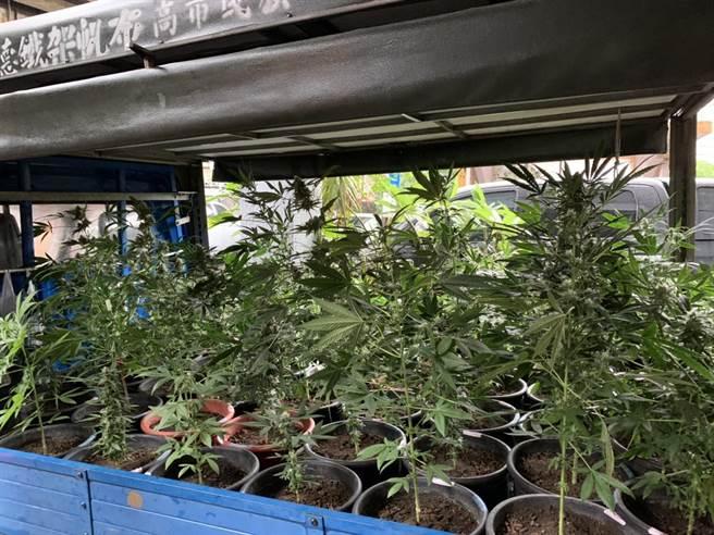 兄弟檔設「大麻農場」辯稱自用 警抄出135株及4公斤成品