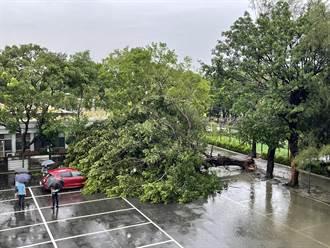 豪雨成災溪湖巨大榕樹應聲倒 蔥農清晨4點出門搏鬥
