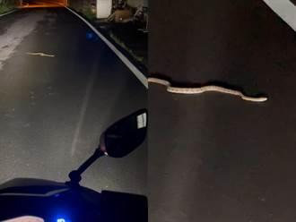外送員夜晚路上遇大蛇擋路 無奈哭喊:我下班了別這樣啦