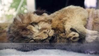 2.8萬年前2個月大「穴獅」帶毛出土 專家一看傻了