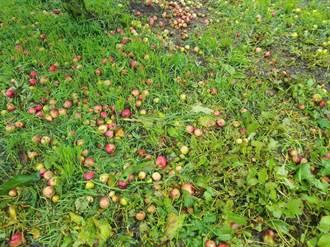 雨彈狂襲福壽山農場 摧殘成熟蘋果園 果農心血全沒了