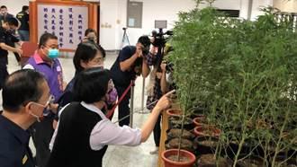 彰化4嫌租屋處種大麻遭查獲 培育275株市價8000萬元飛了