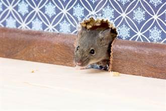 引蛇入洞捕鼠 下秒驚見牆壁鑽出14隻米奇