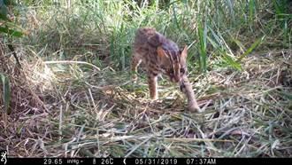 完善生態保護網 台中推石虎保育委員會設置辦法