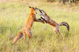 動物園遊客打架引猛獸圍觀 當晚「現學現賣」飼育員傻了