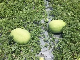 花蓮2期西瓜正值採收季 西南氣流大豪雨無影響