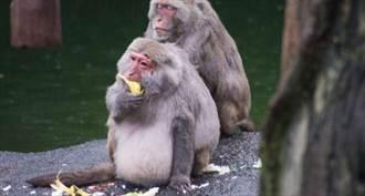中國一名獸醫死於極其罕見的「猴B病毒」科學家曝光疫情爆發可能性
