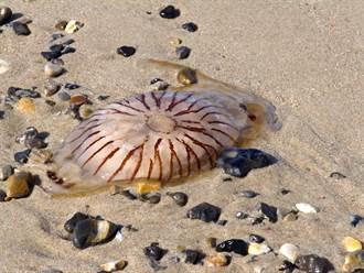 小魚困水母體內被沖上岸 攝影師驚呼:難得一見