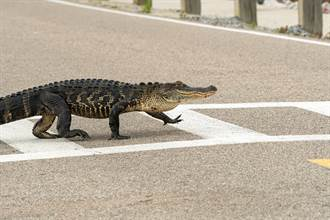 守法鱷魚斑馬線走一半累了 趴地上當路霸駕駛全傻眼