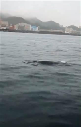 熱帶鬚鯨首度出現基隆海域 增添稀有海洋生物蹤影紀錄