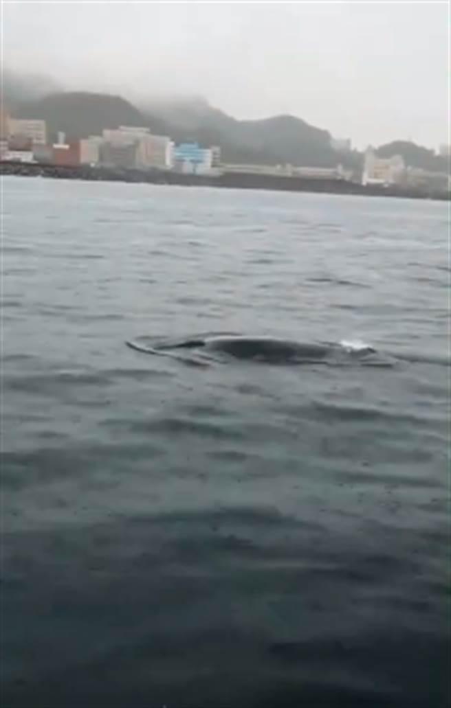 基隆八斗子海域日前出現小鯨豚蹤影,體長約3米,經釣友發現拍攝後,轉請國立海洋科技博物館協助,經日本學者協助鑑定後,發現這條鯨豚屬熱帶鬚鯨。(影片截圖)