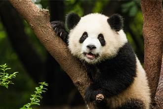動物界奧運冠軍 貓熊卡木橋險摔倒 下秒華麗落地全場驚呼