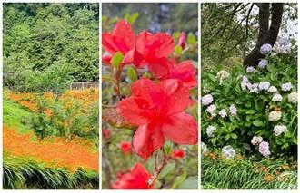 阿里山放寬戶外場域 繡球花、杜鵑、射干菖蒲也花開正美